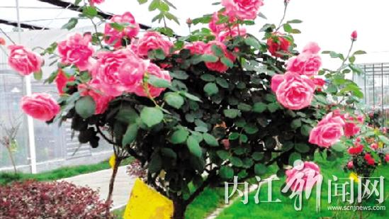 """""""玫瑰树"""""""