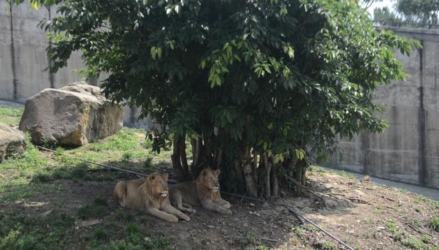 隆昌:十只非洲狮结束隔离检疫期正式与游人见面