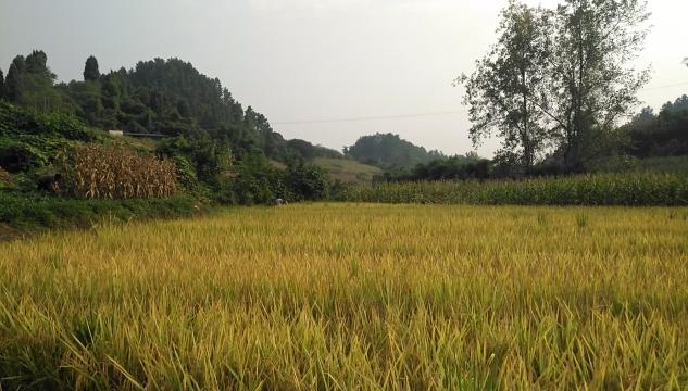 水稻丰收啦