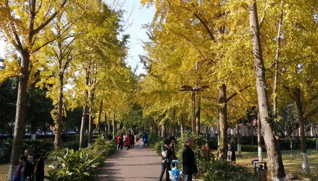 初冬暖阳赏银杏美景