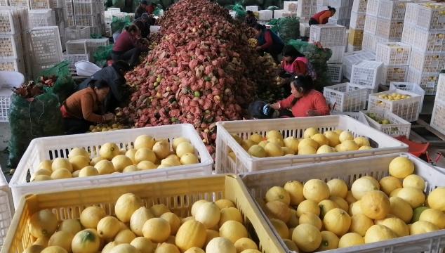 柠檬产业助力脱贫增收
