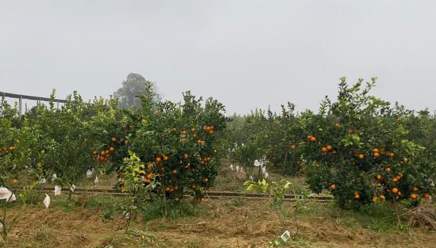 公民镇血橙基地—种养循环之下果子好销路