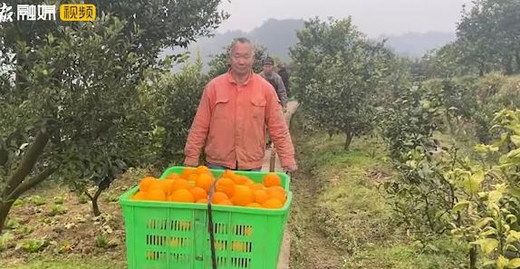 好吃!不贵!资中血橙大量成熟上市